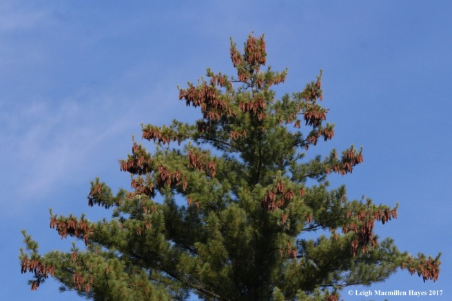 l7-pine cones 1
