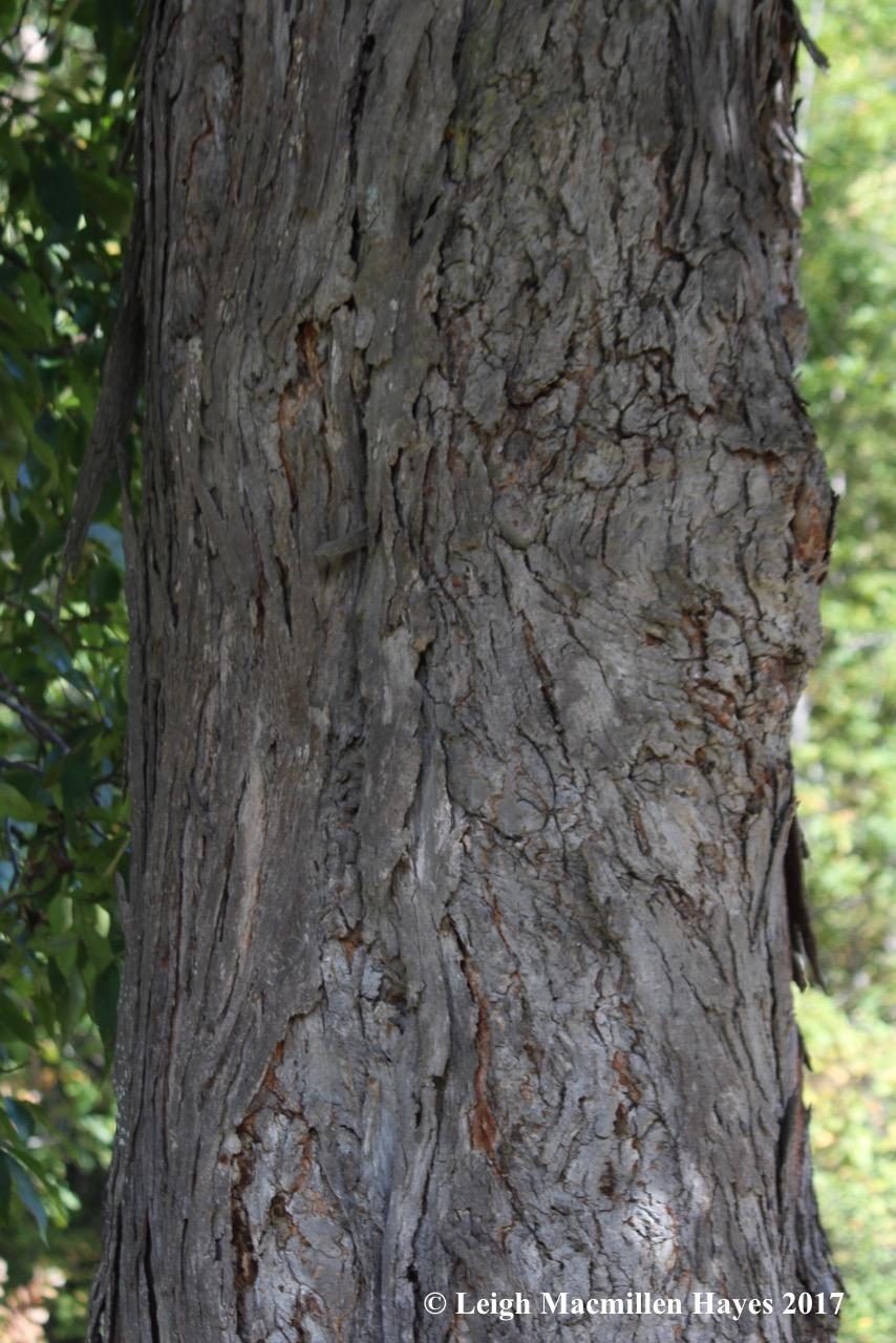 m18-hickory bark