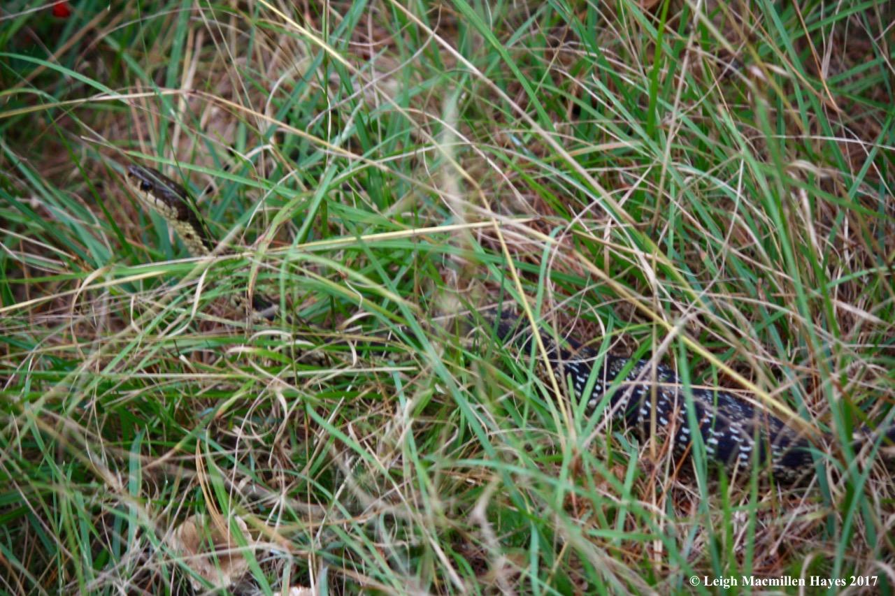m29-bigger snake 3