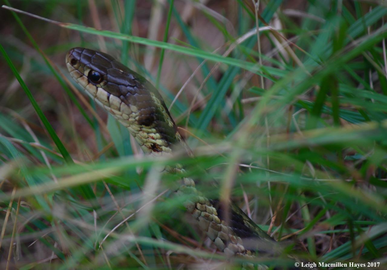 m31-bigger snake 5