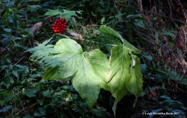 o-jack in pulpit fruit