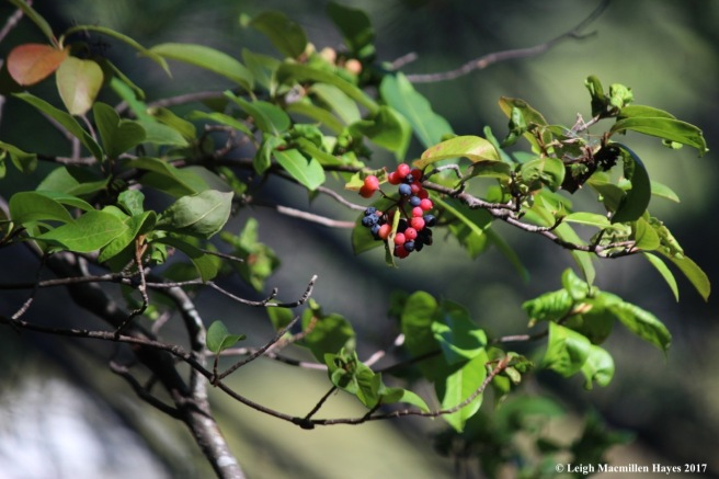 o-witherod berries