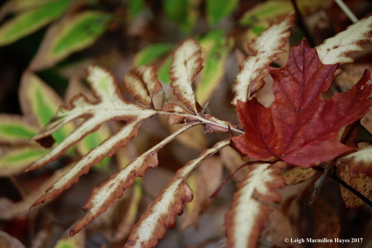 p12-sugar maple on sensitive fern