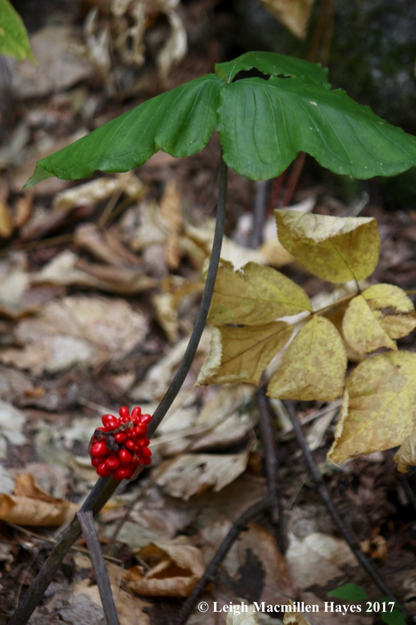 p14-jack in the pulpit