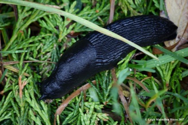 s-black slug
