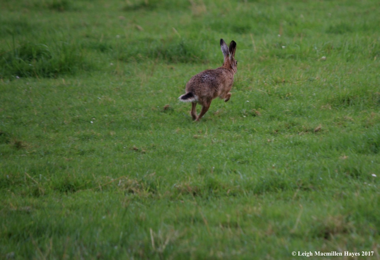 s-brown hare