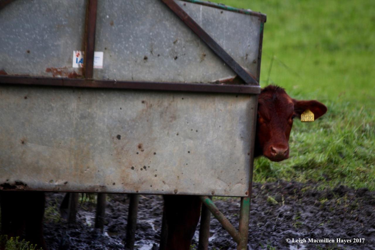 s-calf peeking