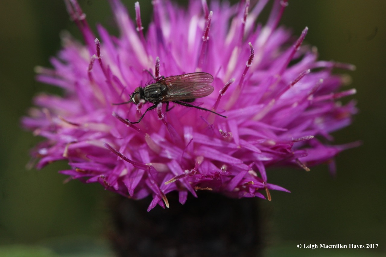 s-fly on thistle
