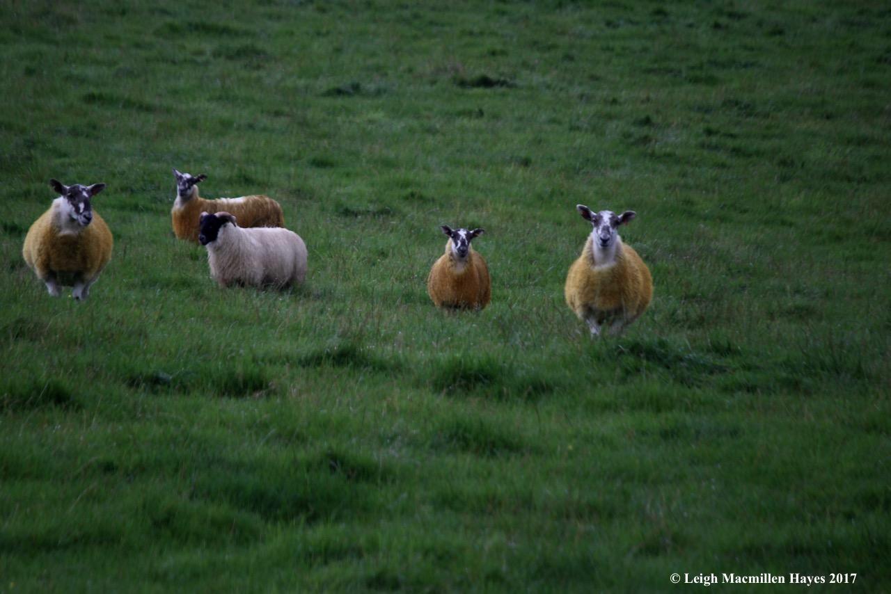 s-golden sheep