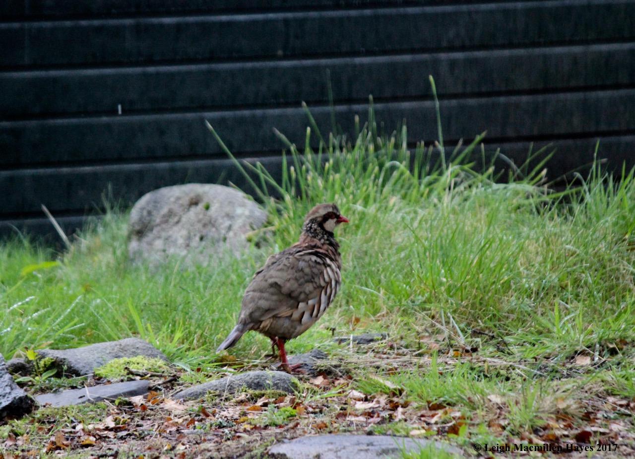 s-grouse, Sept 7
