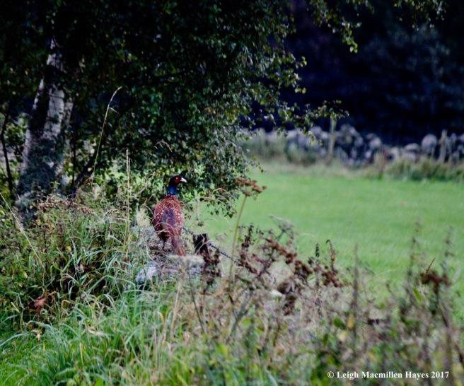 s-pheasant 1, Sept 7