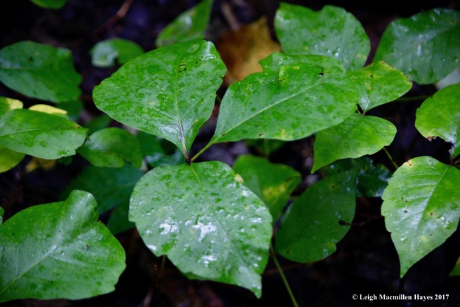 s-poison ivy 1