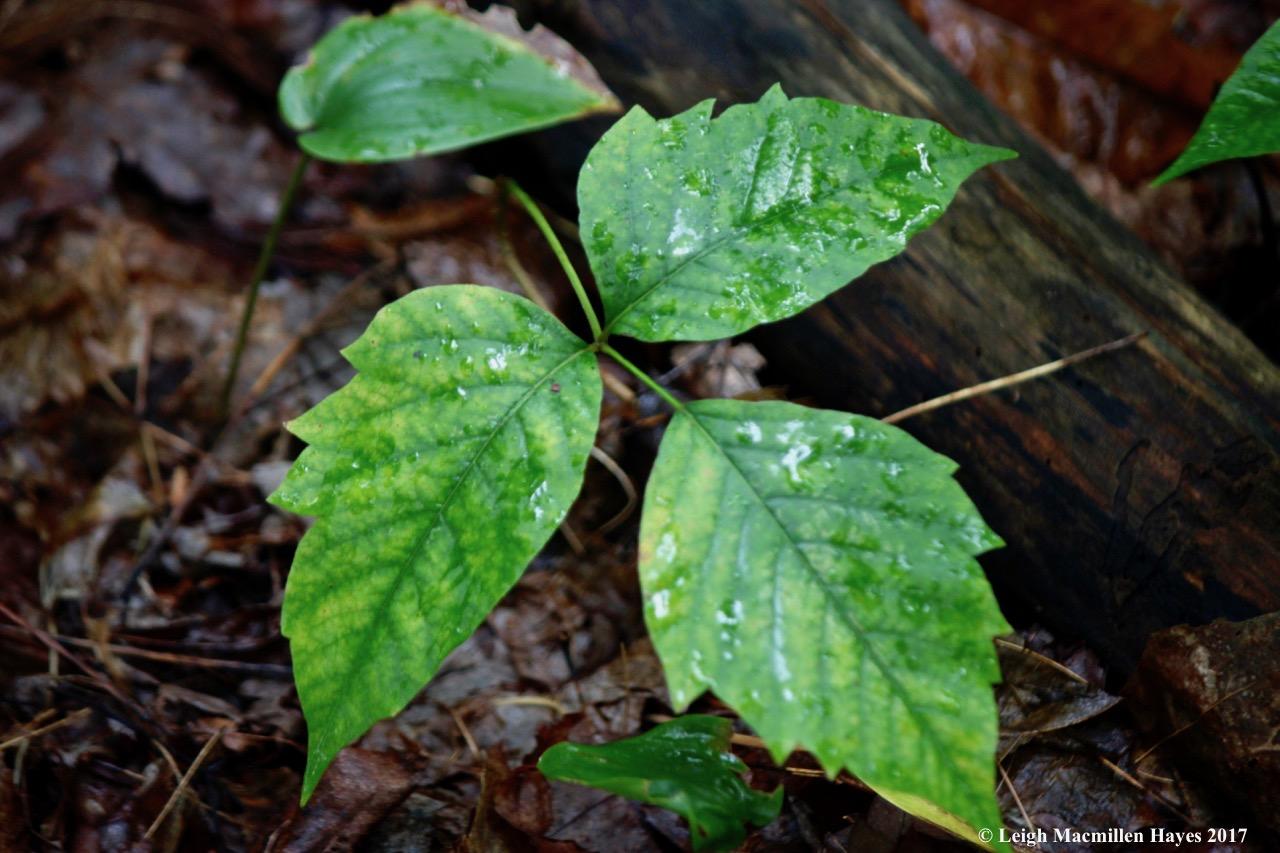 s-poison ivy 2