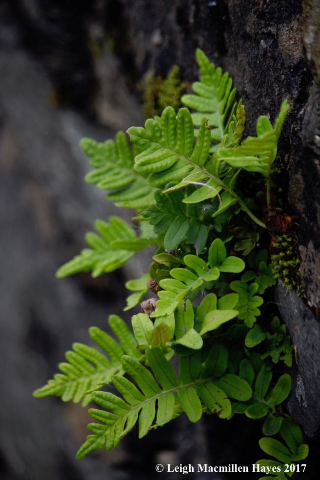 s-polypody, wall by Arrochar