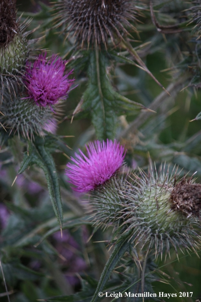 s-prickly thistles