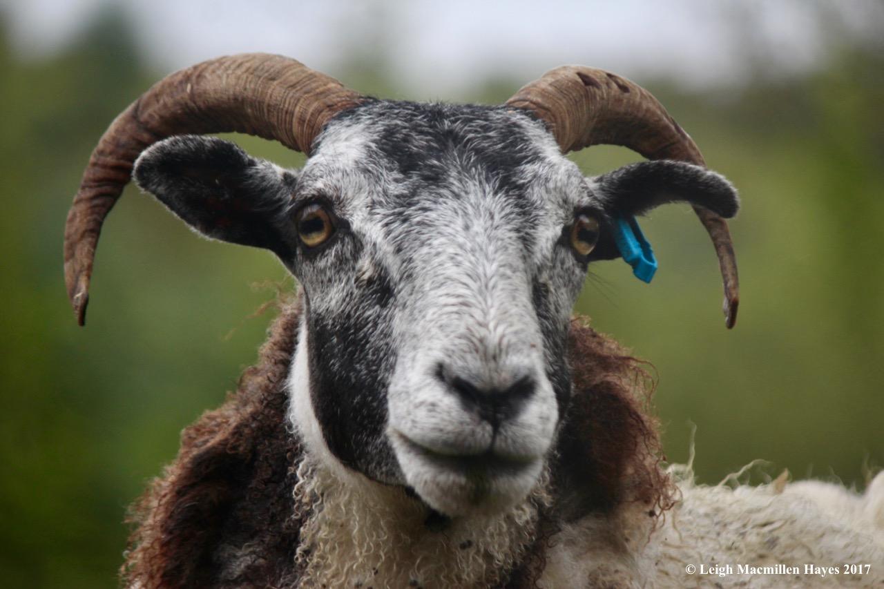 s-sheep 1, Sept 3 blog