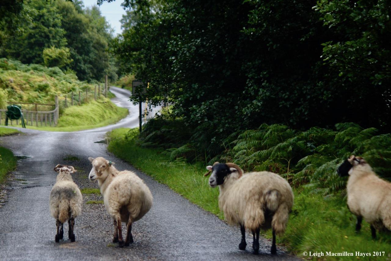 s-sheep on way to Sween