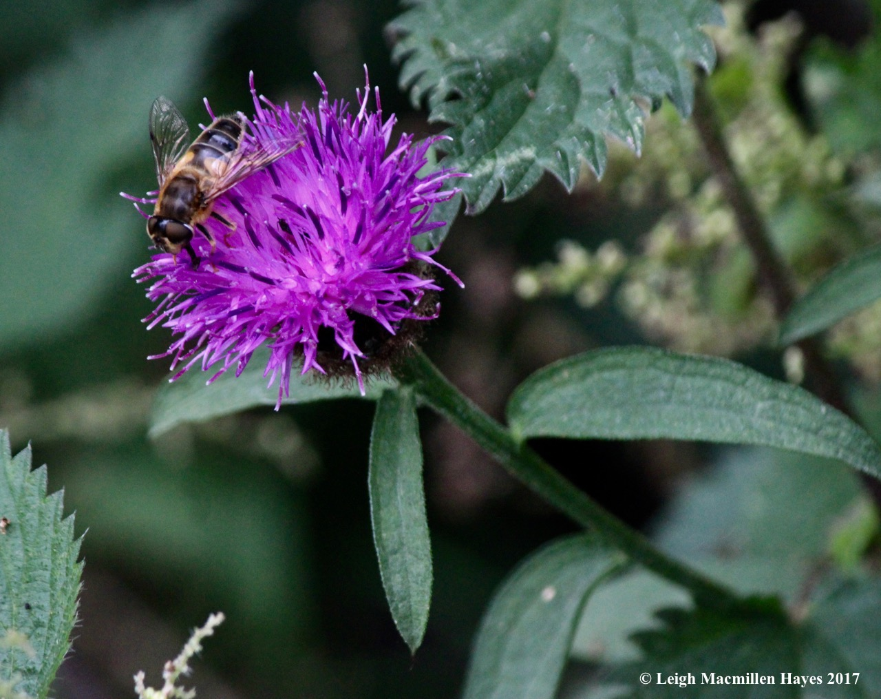 s-thistle and bee, Days 1 and 2