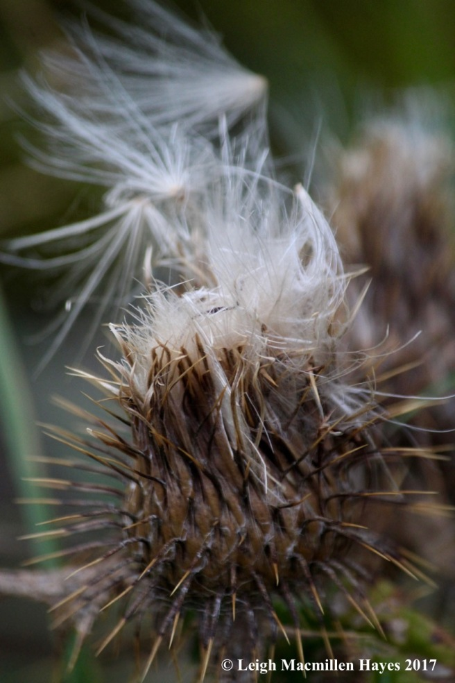 s-thistle seeds