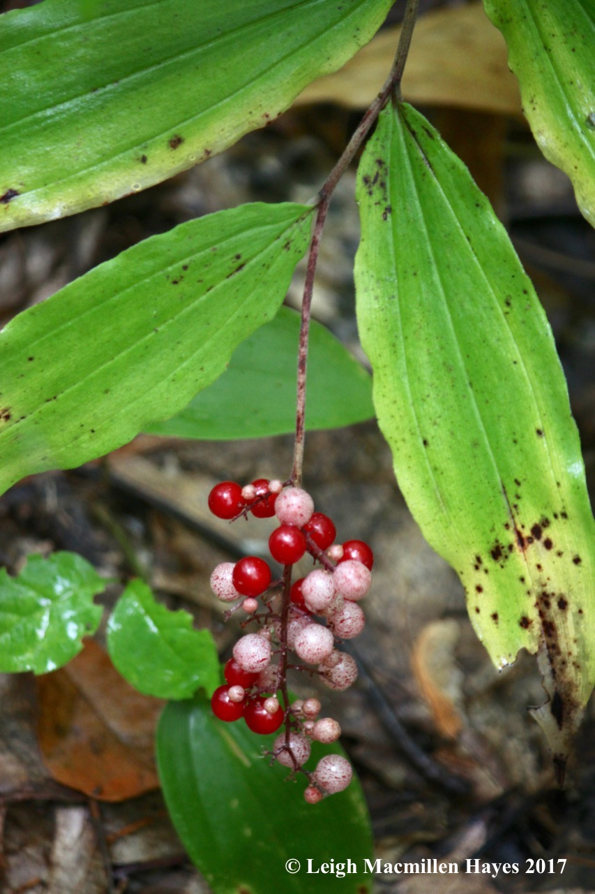 s18-false Solomon's-seal berries