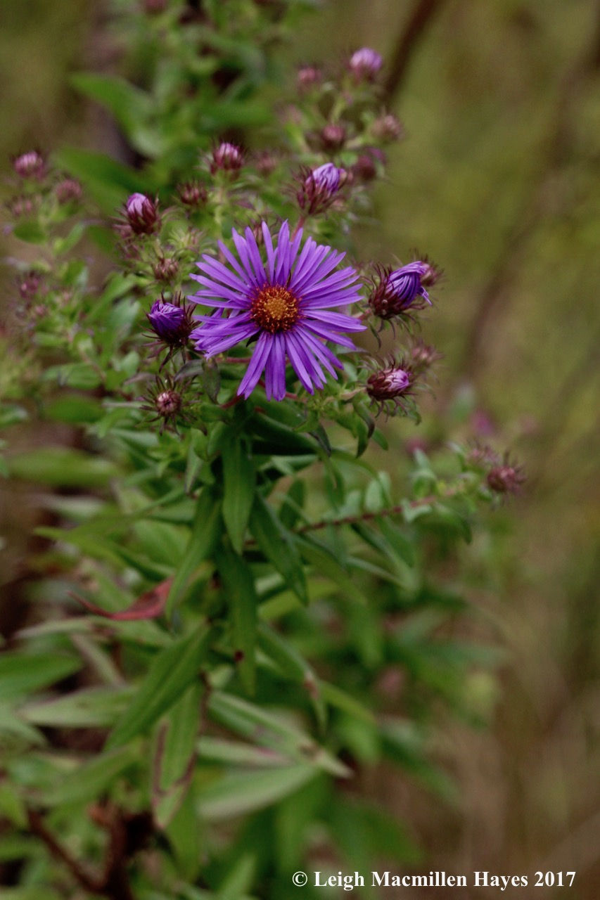 s37-New England aster 2