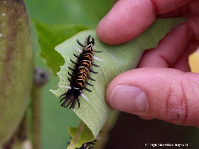 s42-milkweed tussock moth caterpillar