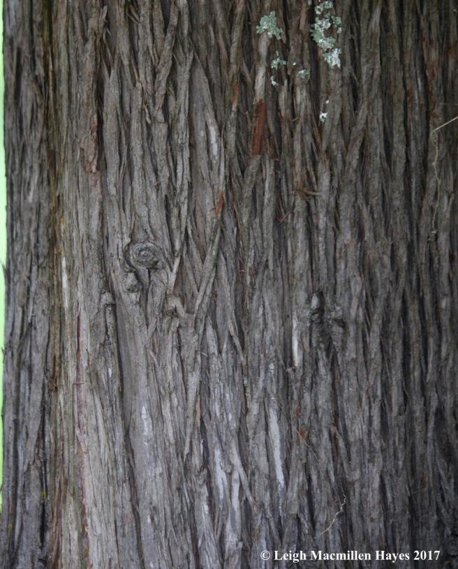 s46-northern white cedar bark