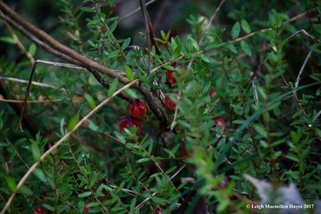 f4-cranberries 1