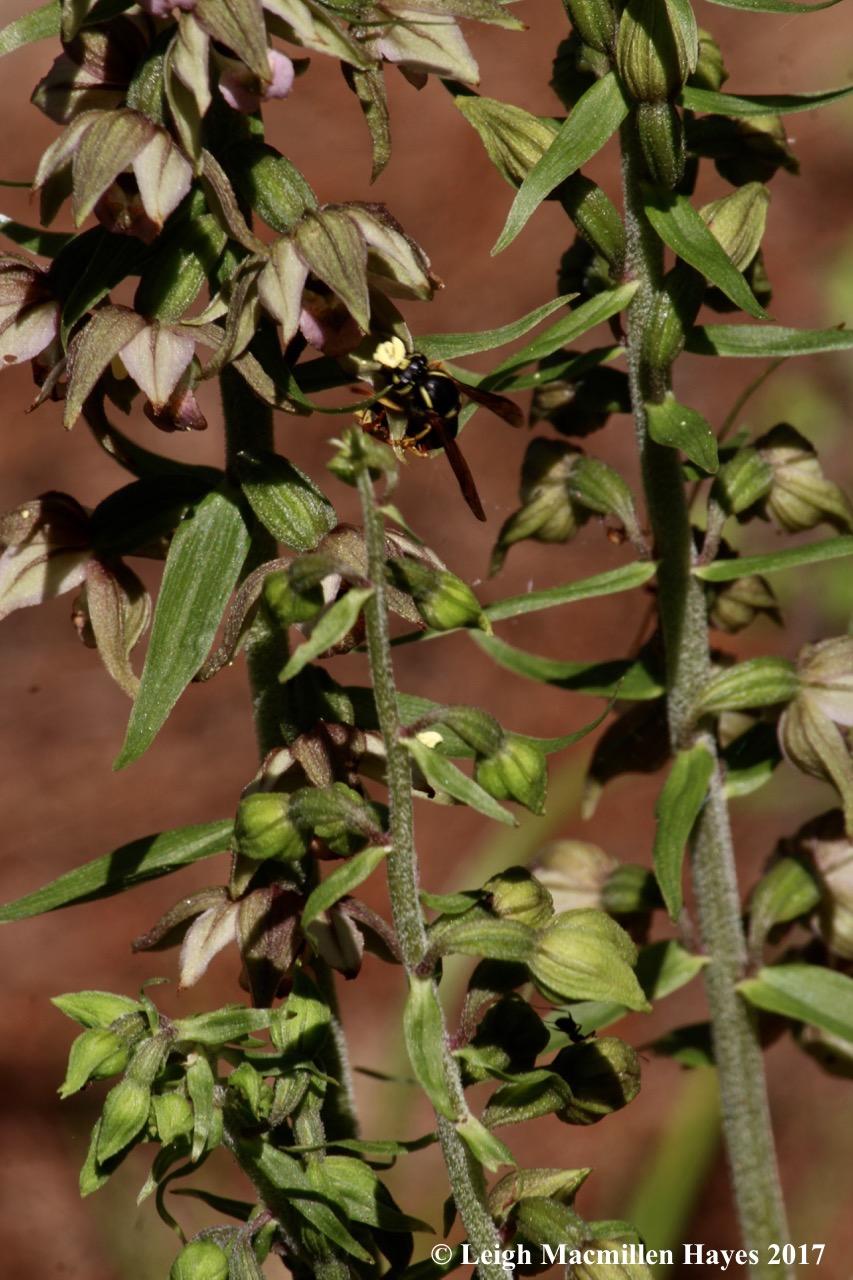 i-helleborine wasp 1