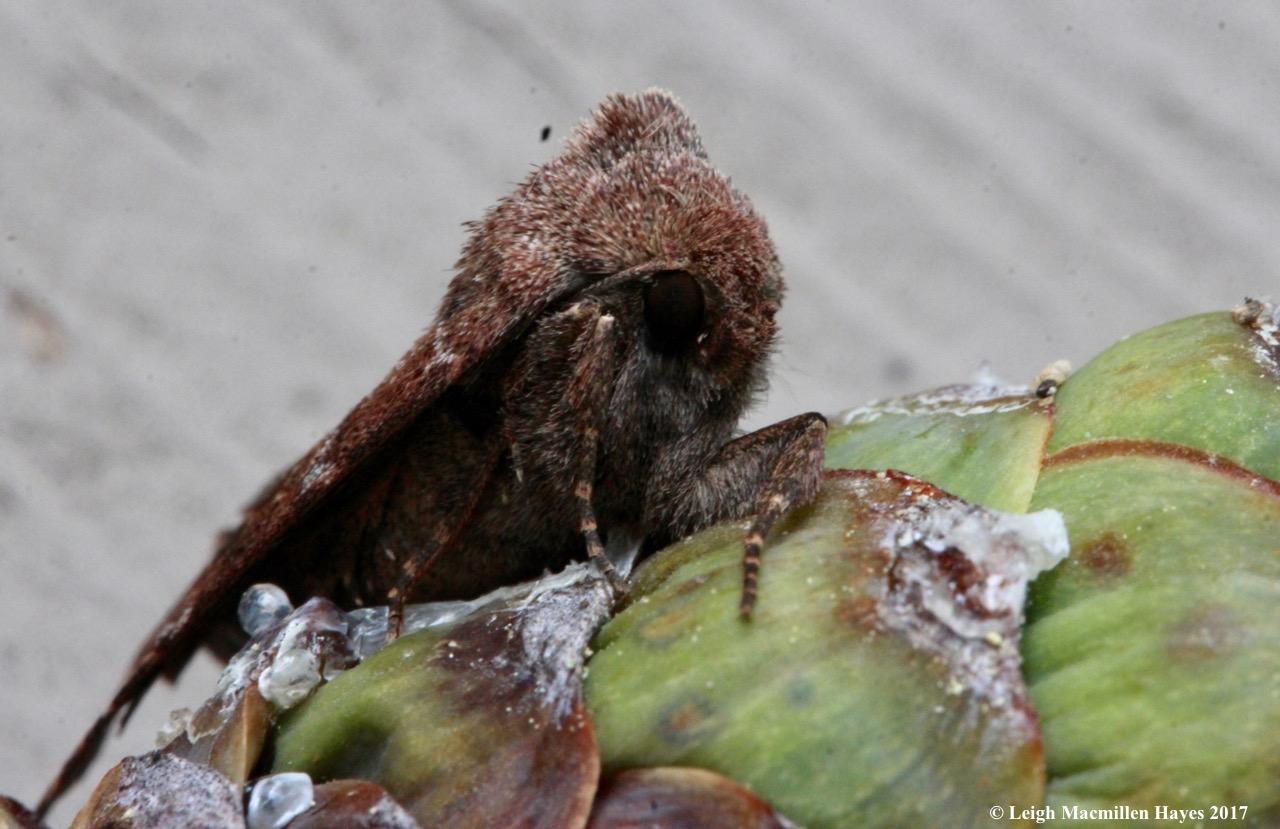 i-moth