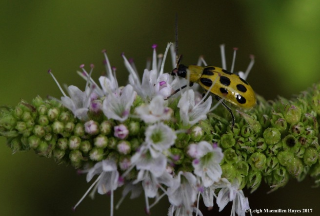 i6-spotted cucumber beetle
