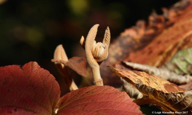 m-hobblebush flower?
