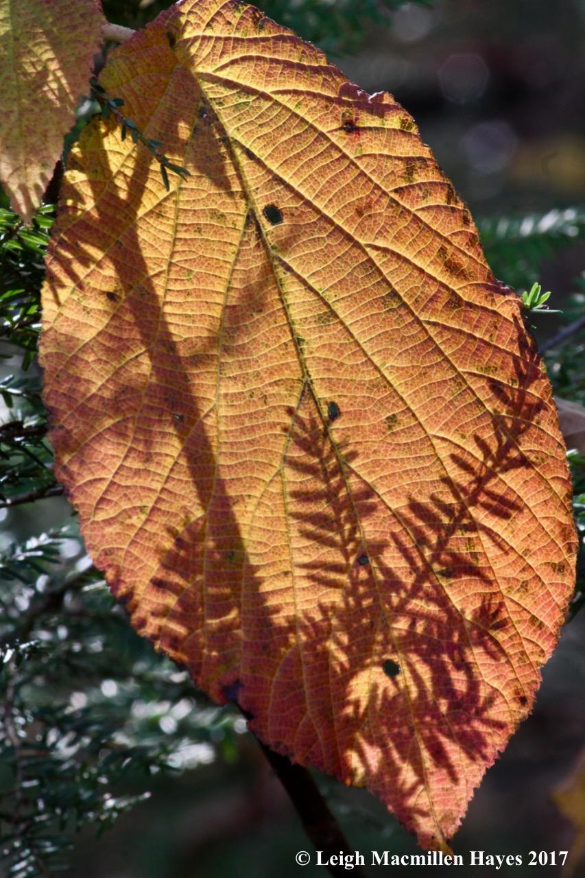 m-hobblebush:hemlock shadows