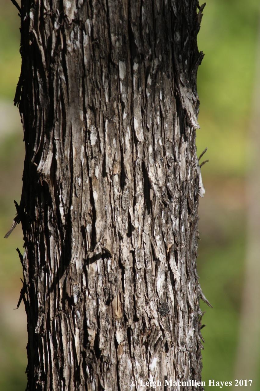 m10-hornbeam bark