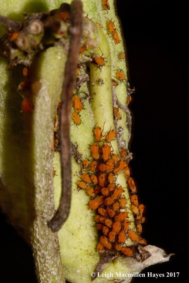 o-17-aphids on milkweed