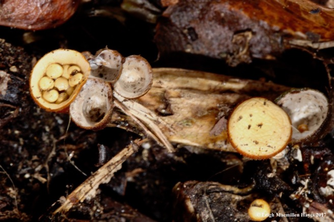 o1-bird nest fungi 1
