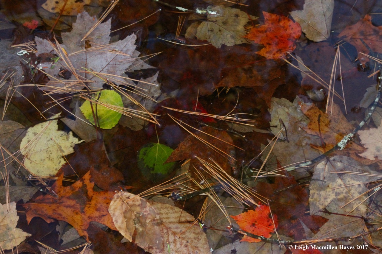o12-vernal pool leaves