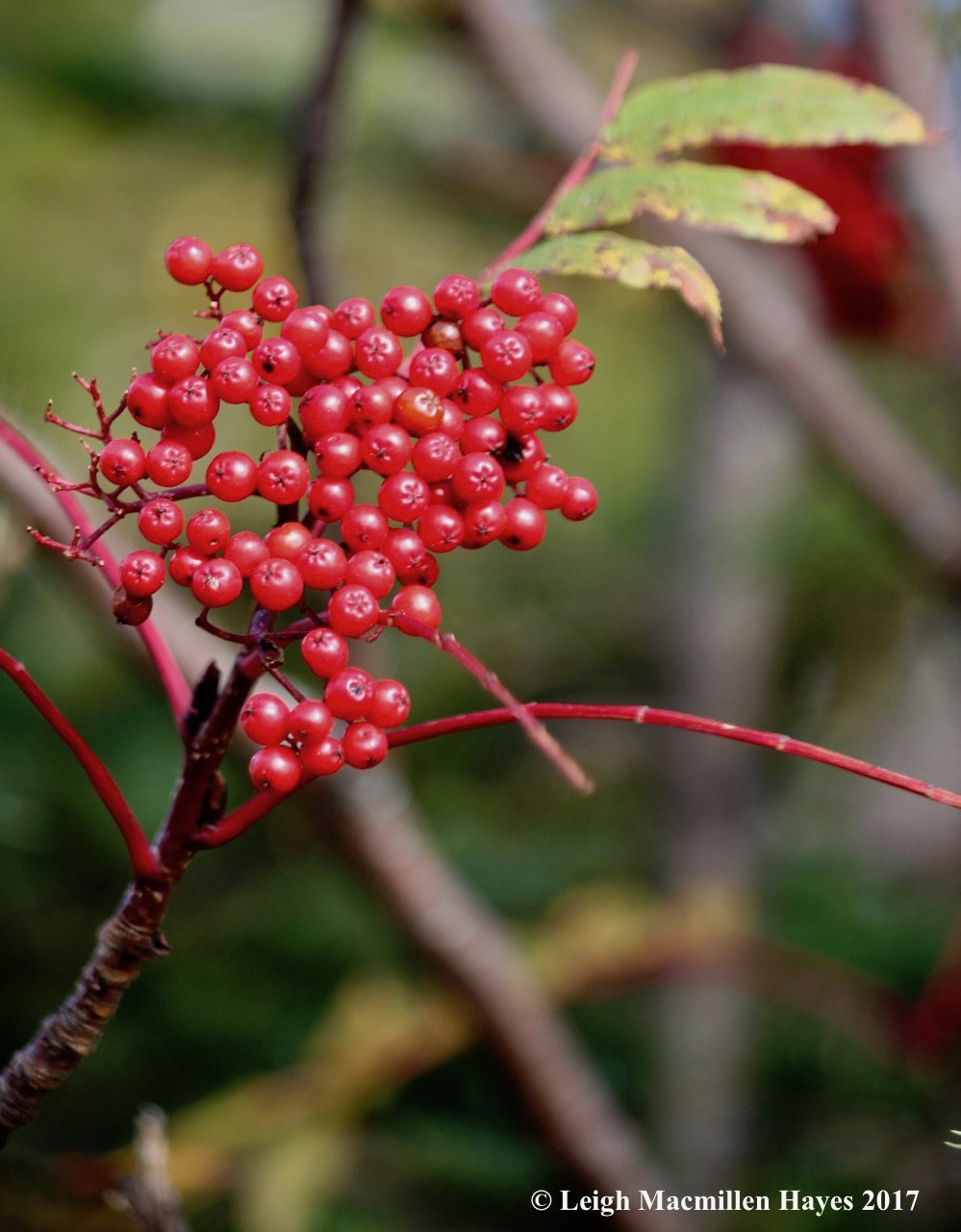 r17-mountain ash fruits