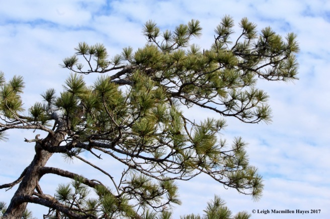 a22-red pine