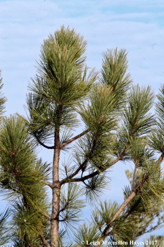 a23-red pine needles