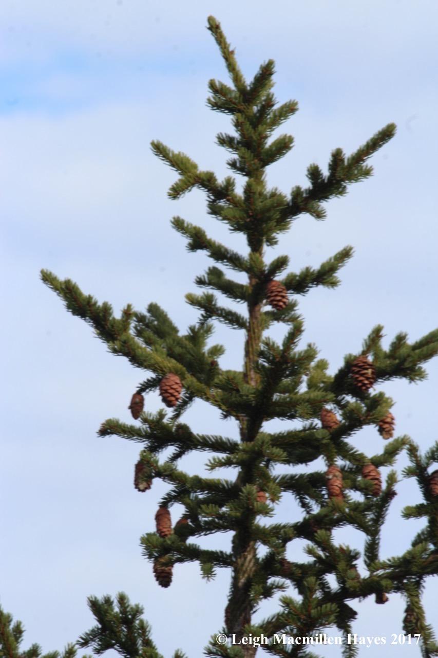 a23-spruce