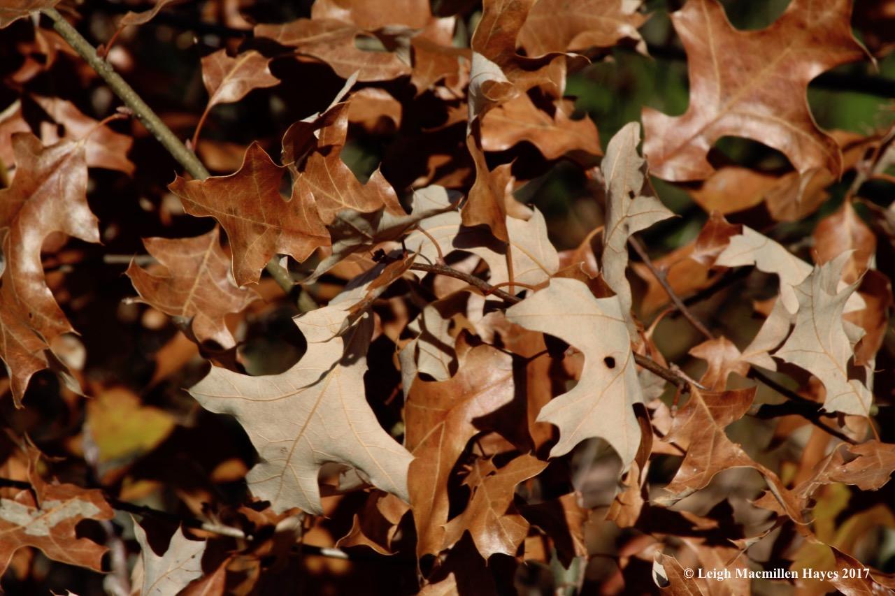 b12-red oak 1
