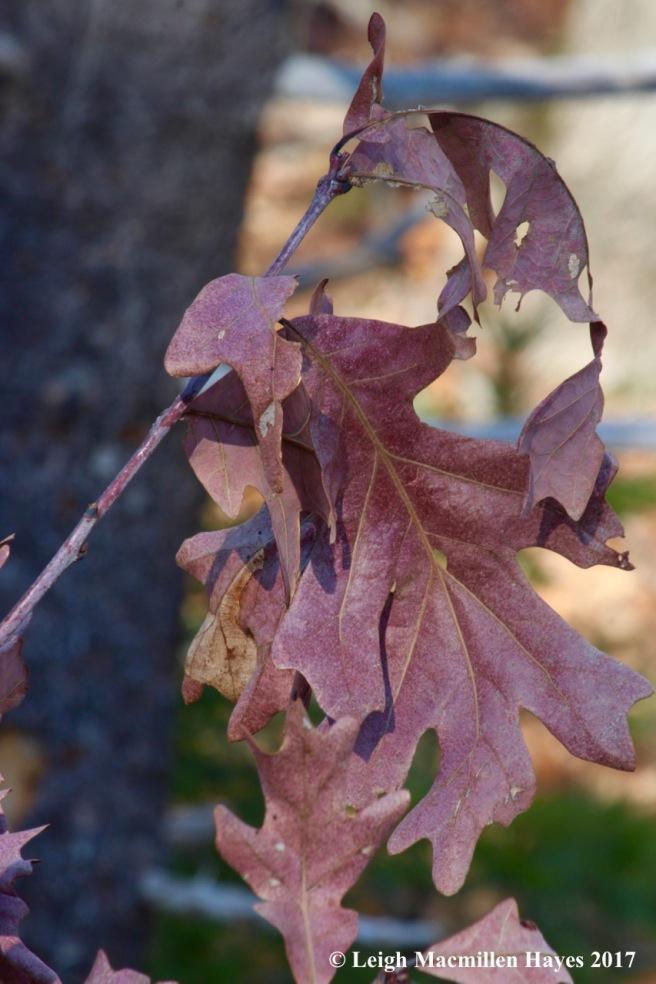 b13a-white oaks