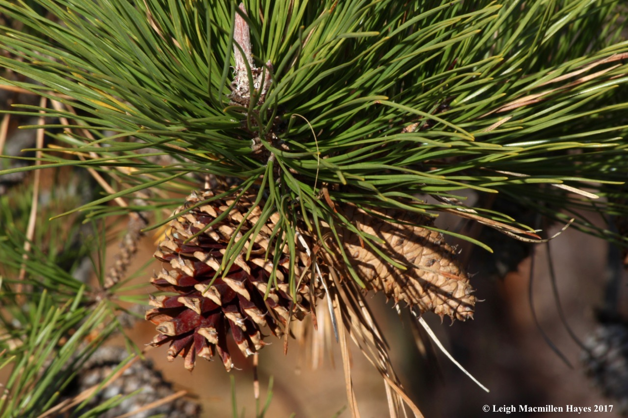 b16-pitch pine cones