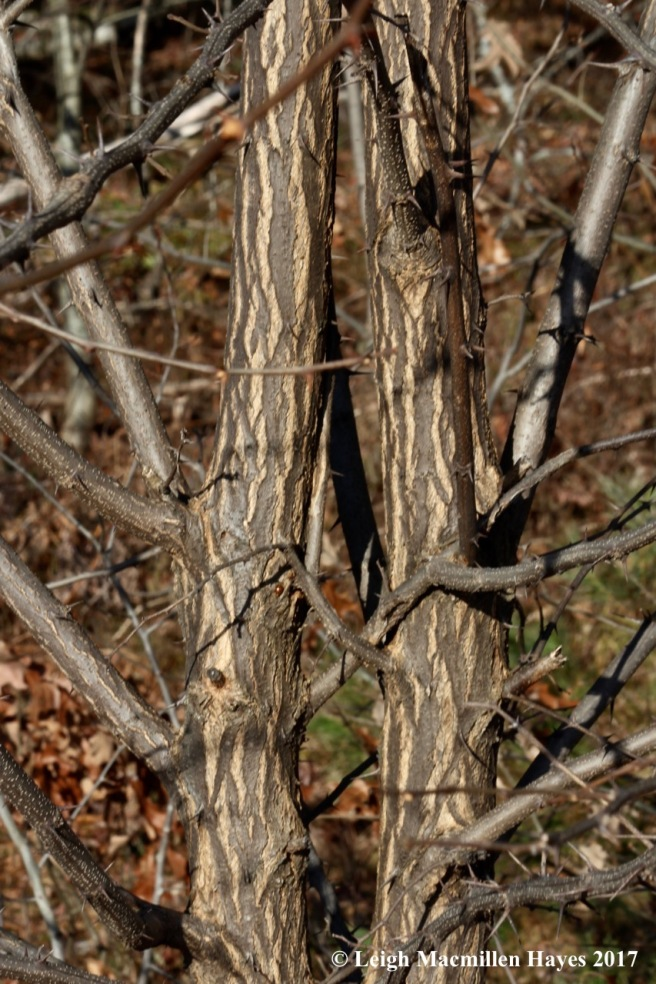 b17-black locust bark