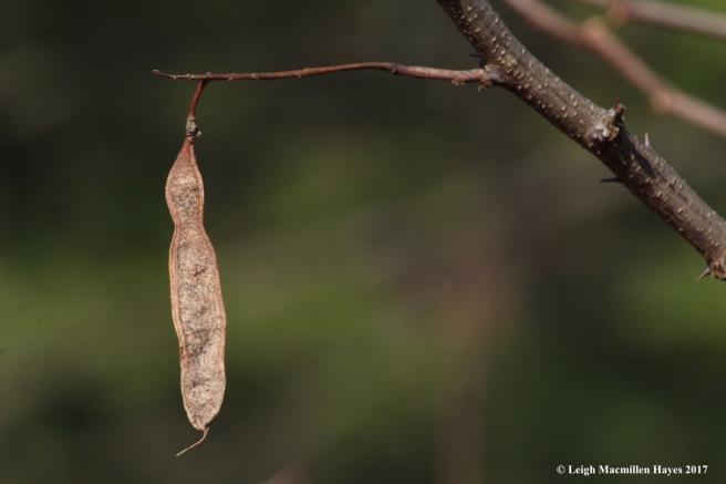 b18-black locust seed pod