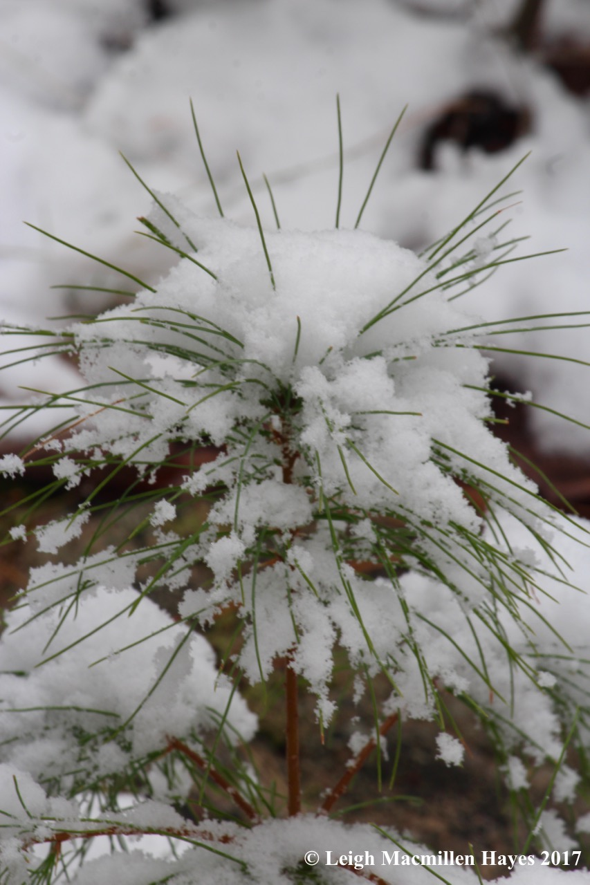 m-pine sapling
