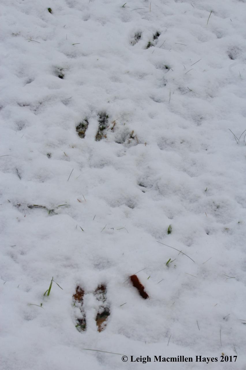 m-squirrel tracks