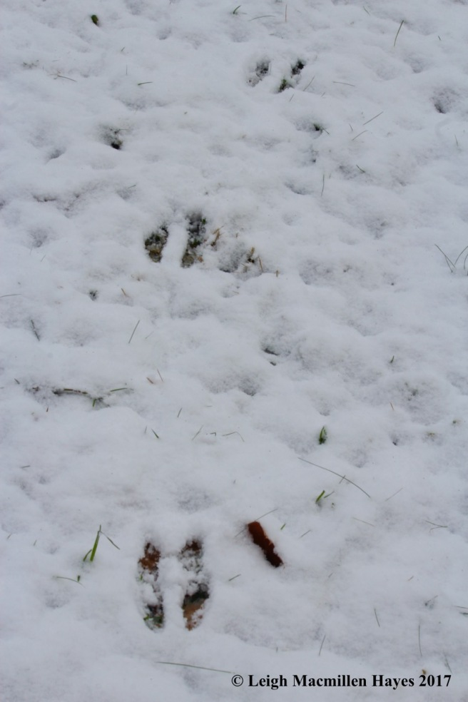 m-squirrel tracks