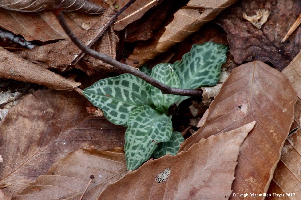 m7-checkered rattlesnake plantain